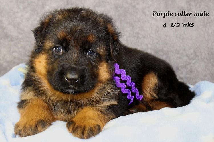 Figo x Philly - Purple Collar Male