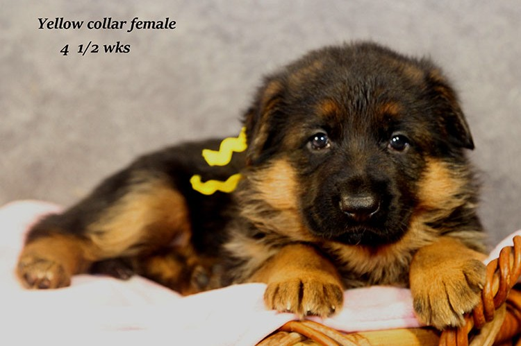 Figo x Philly - Yellow Collar Female