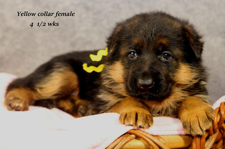 Figo x Philly - Yellow Collar Female 2