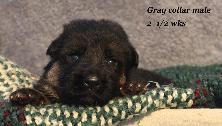 Figo x Rienne - Gray Collar Male
