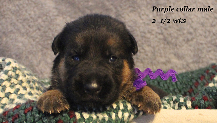 Figo x Rienne - Purple Collar Male