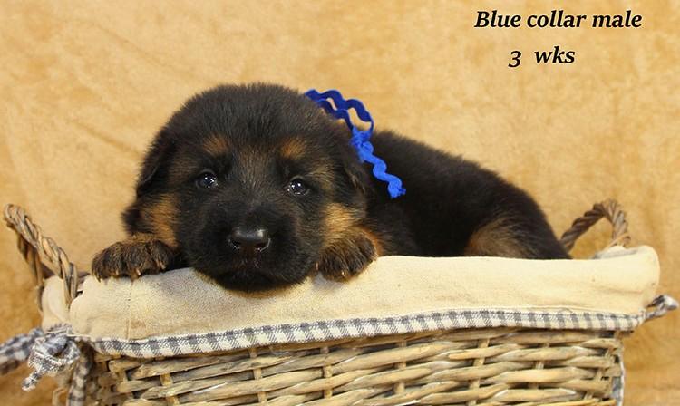 Djambo x Bindi - 3 Weeks Blue Collar Male