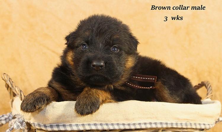 Djambo x Bindi - 3 Weeks Brown Collar Male
