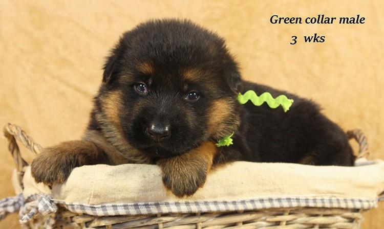 Djambo x Bindi - 3 Weeks Green Collar Male