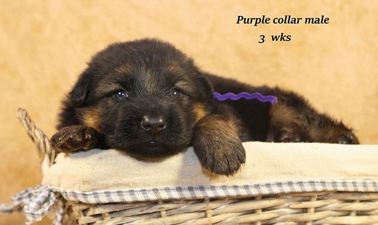 Djambo x Bindi - 3 Weeks Purple Collar Male 2