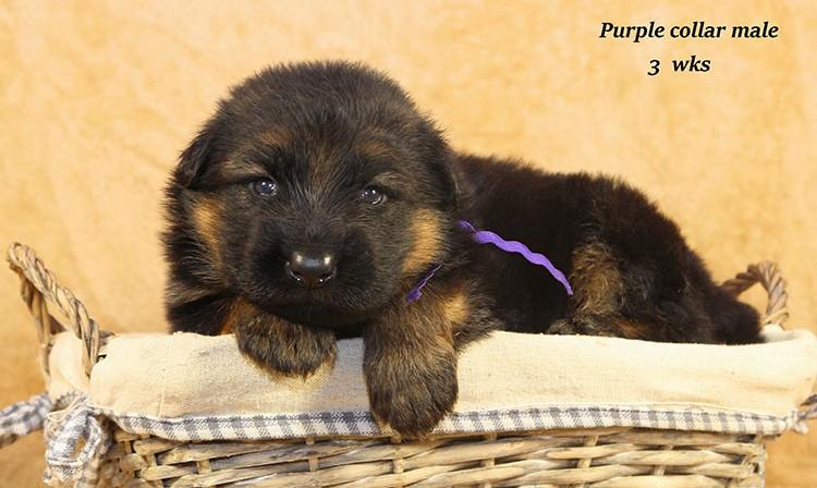Djambo x Bindi - 3 Weeks Purple Collar Male