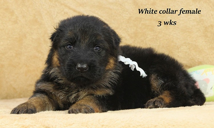 Djambo x Bindi - 3 Weeks White Collar Female