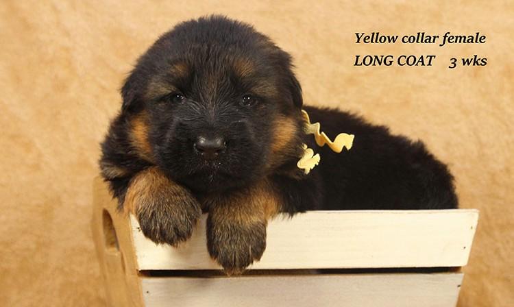Djambo x Bindi - 3 Weeks Yellow Collar Female 2