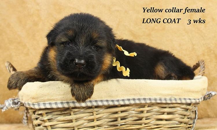 Djambo x Bindi - 3 Weeks Yellow Collar Female