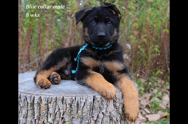 Netzer x Ria - 8 Weeks Blue Collar Male