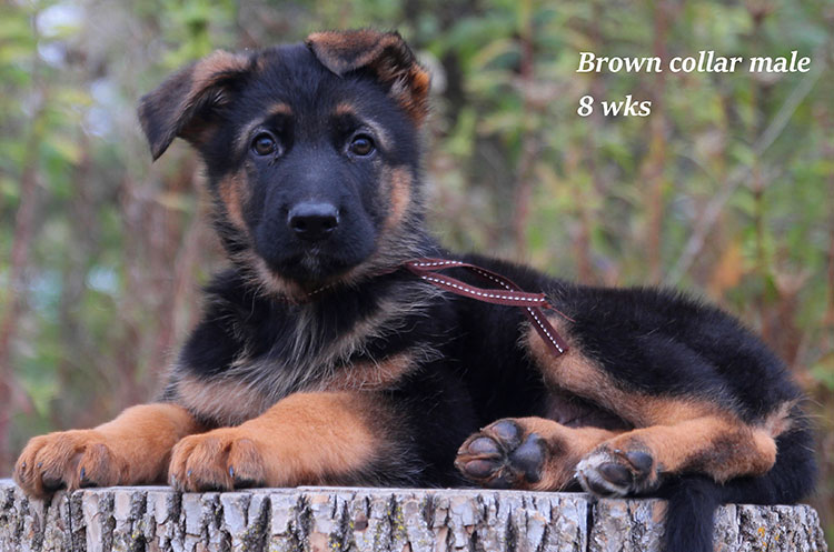 Netzer x Ria - 8 Weeks Brown Collar Male