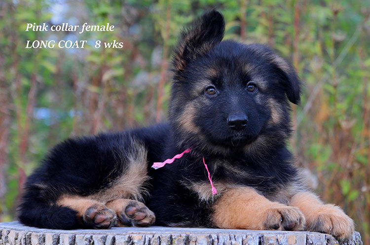 Netzer x Ria - 8 Weeks Pink Collar Female 2