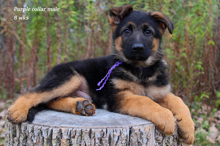Netzer x Ria - 8 Weeks Purple Collar Male