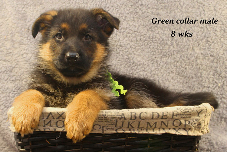 Kaspar x Alba - 8 Week Green Collar Male