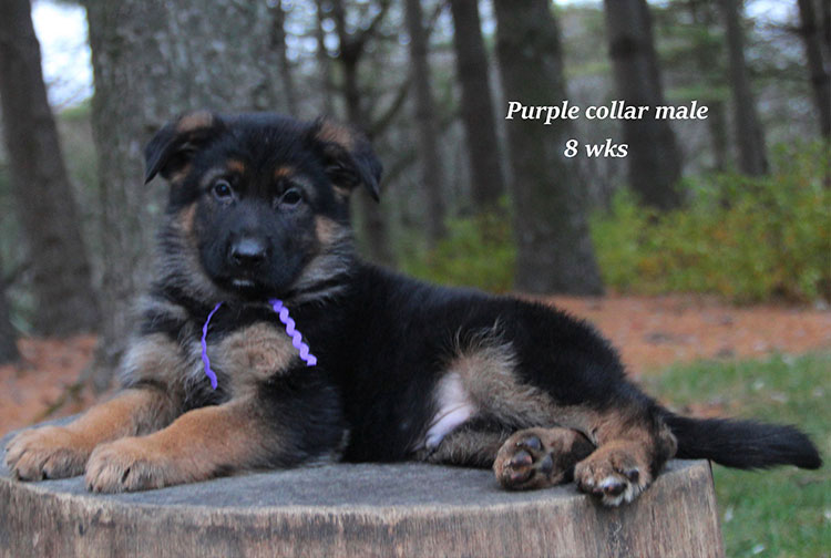 Kaspar x Alba - 8 Week Purple Collar Male