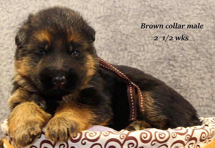 Napa x Solo - 2 & Half Week Brown Collar Male 2