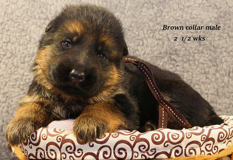 Napa x Solo - 2 & Half Week Brown Collar Male