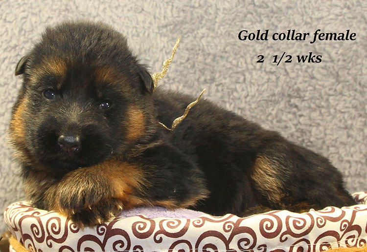 Napa x Solo - 2 & Half Week Gold Collar Female 2