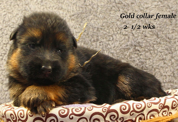 Napa x Solo - 2 & Half Week Gold Collar Female
