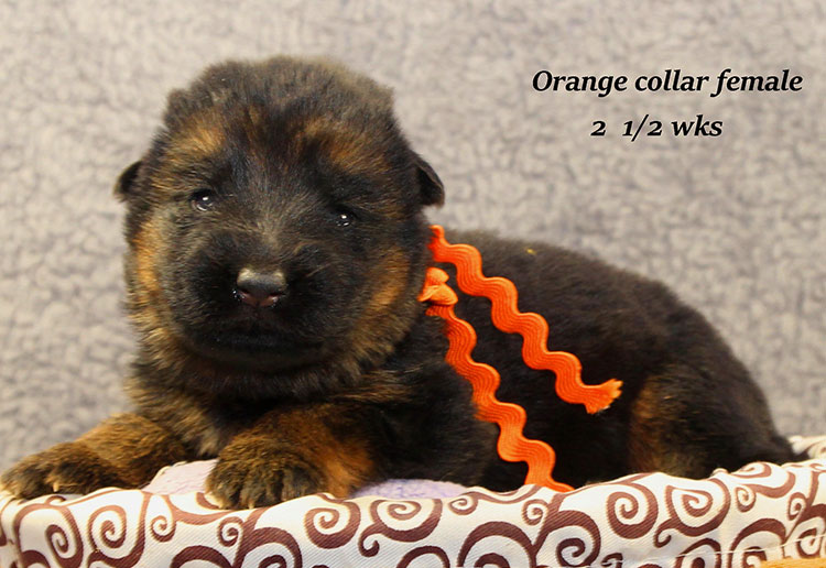 Napa x Solo - 2 & Half Week Orange Collar Female