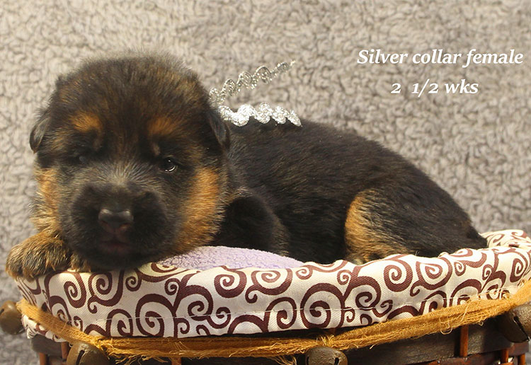 Napa x Solo - 2 & Half Week Silver Collar Female