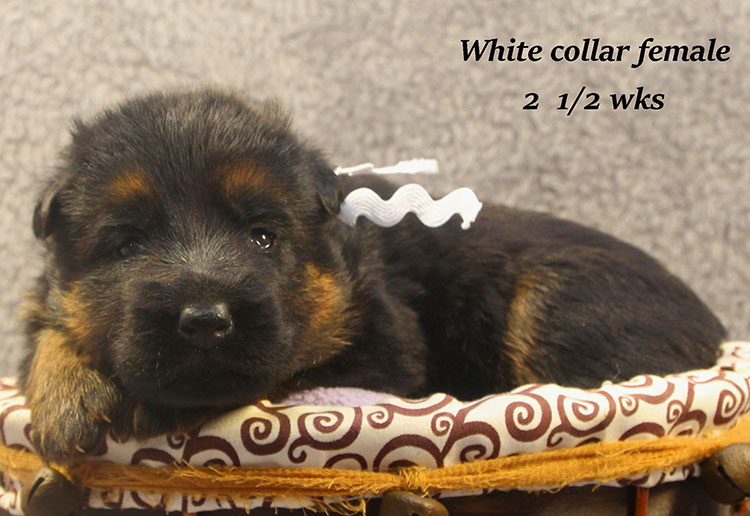 Napa x Solo - 2 & Half Week White Collar Female