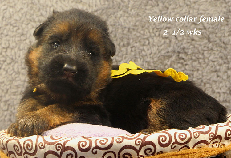 Napa x Solo - 2 & Half Week Yellow Collar Female