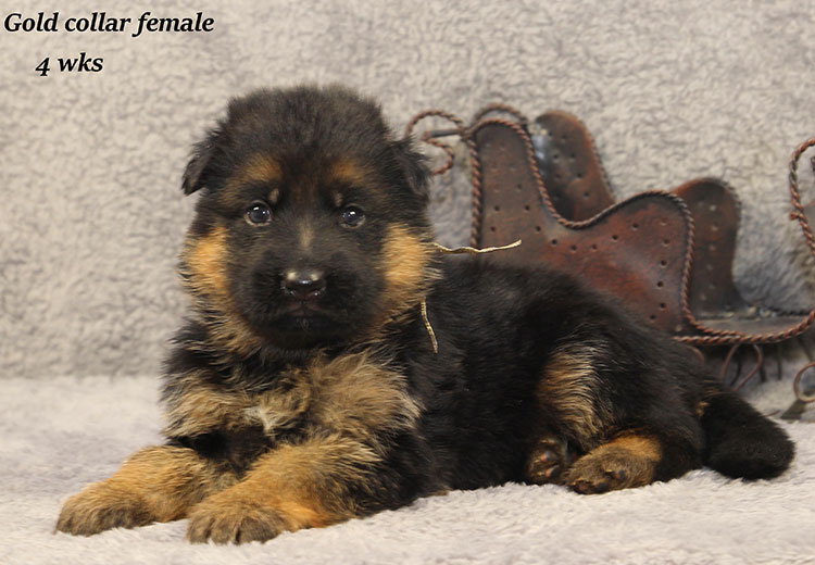 Napa x Solo - 4 Week Gold Collar Female