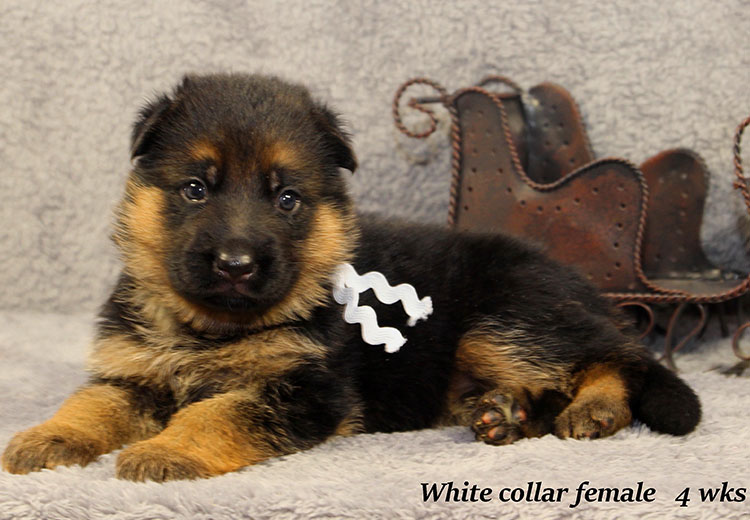 Napa x Solo - 4 Week White Collar Female