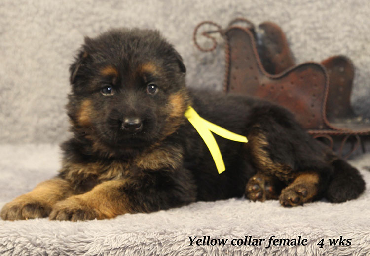 Napa x Solo - 4 Week Yellow Collar Female