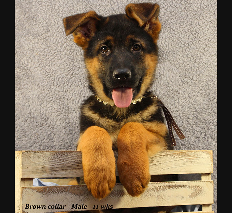 Netzer x Ria - 11 Week Brown Collar Male