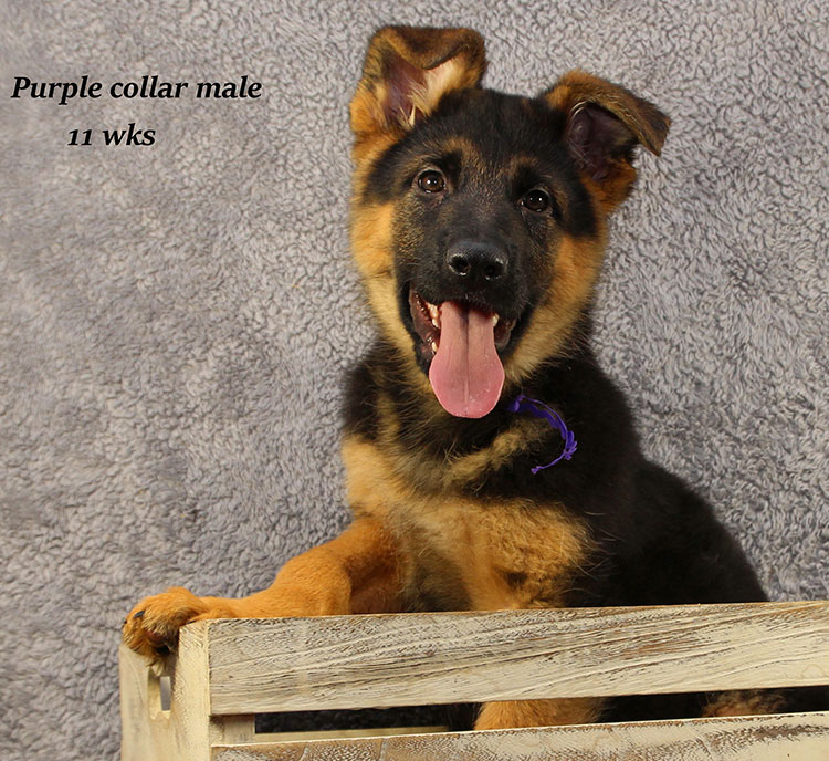 Netzer x Ria - 11 Week Purple Collar Male 2