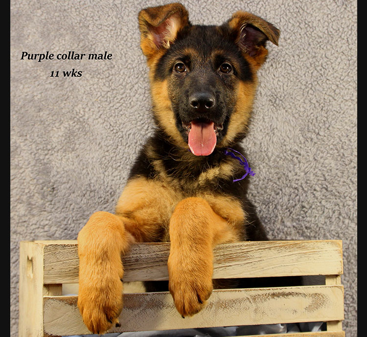 Netzer x Ria - 11 Week Purple Collar Male
