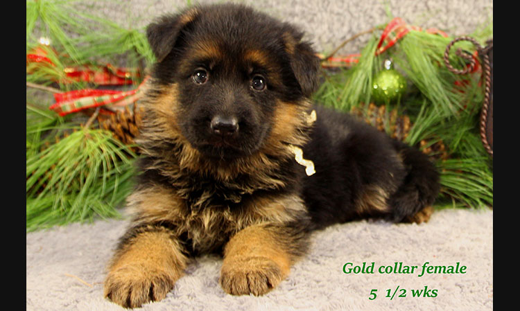 Napa x Solo - 5 and Half Week Gold Collar Female