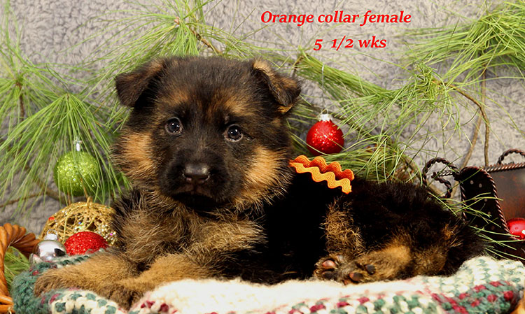 Napa x Solo - 5 and Half Week Orange Collar Female