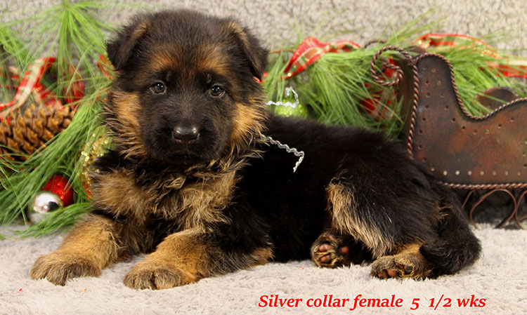 Napa x Solo - 5 and Half Week Silver Collar Female