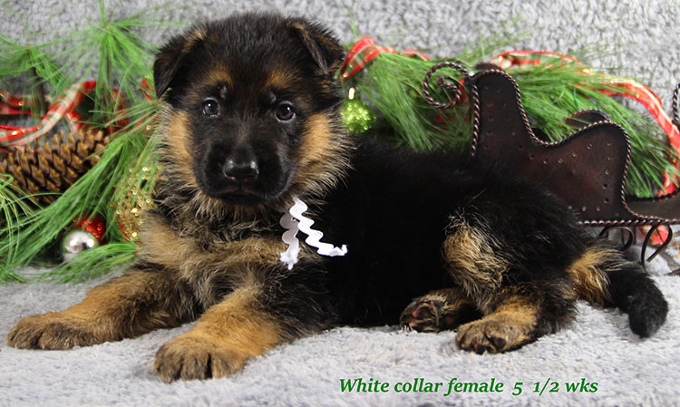 Napa x Solo - 5 and Half Week White Collar Female