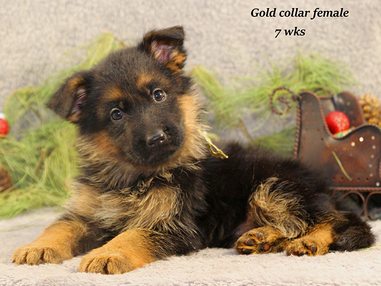 Solo x Napa - 7 Weeks Gold Collar Female