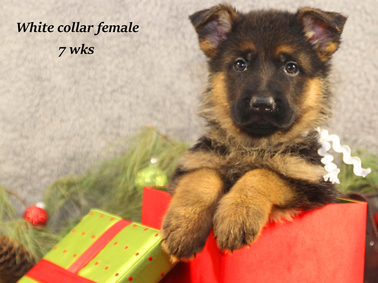 Solo x Napa - 7 Weeks White Collar Female 2