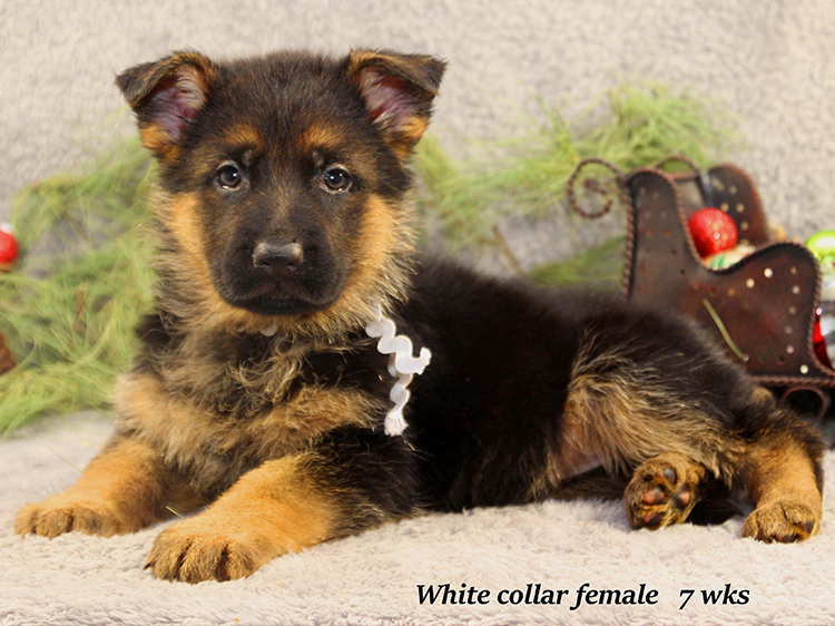 Solo x Napa - 7 Weeks White Collar Female