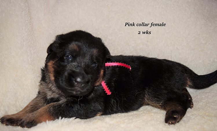 Anadja x Rocco - 2 Weeks Pink Collar Female