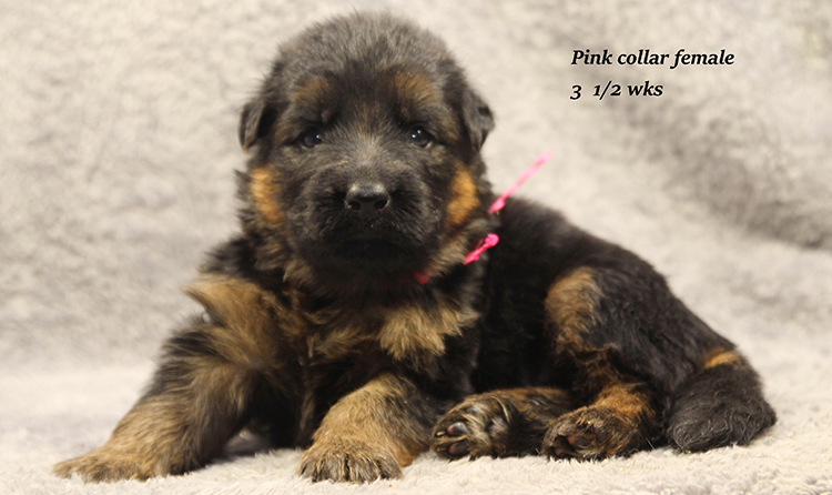 Banshee x Rocco - 3 and half week Pink Collar Female
