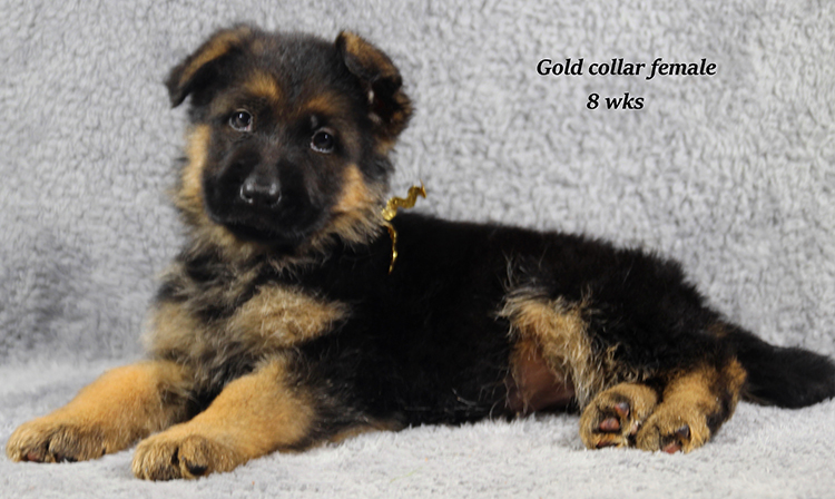 Napa x Solo - 8 Weeks Gold Collar Female 2