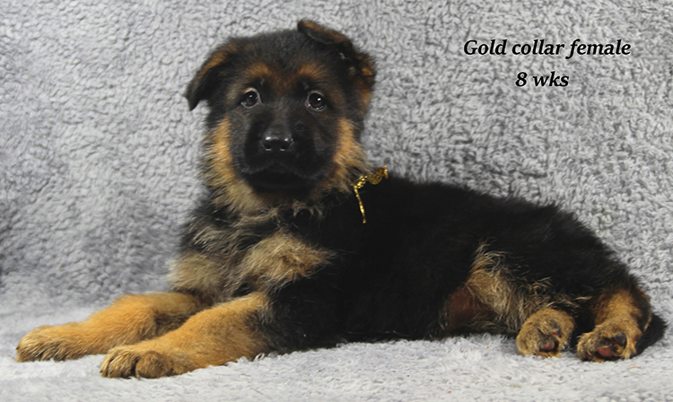 Napa x Solo - 8 Weeks Gold Collar Female