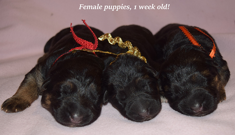 Rocco x Anadja - 1 Week Old Female Puppies