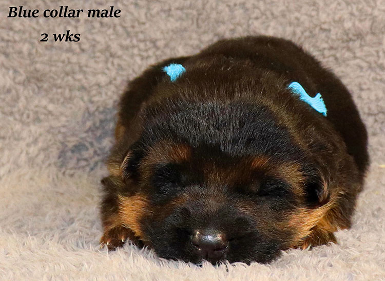 Kondor x Gracie - 2 Weeks Blue Collar Male