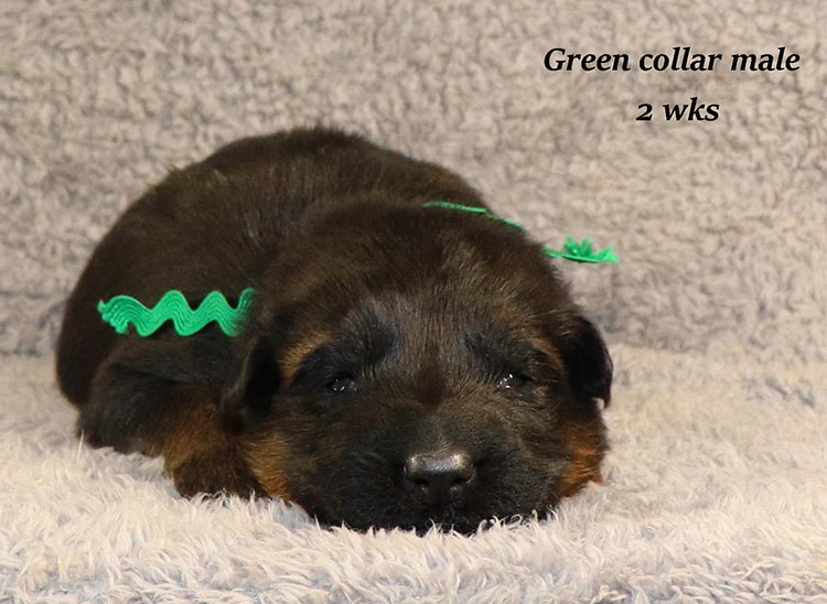 Kondor x Gracie - 2 Weeks Green Collar Male