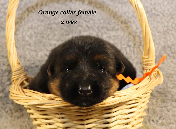 Kondor x Gracie - 2 Weeks Orange Collar Female