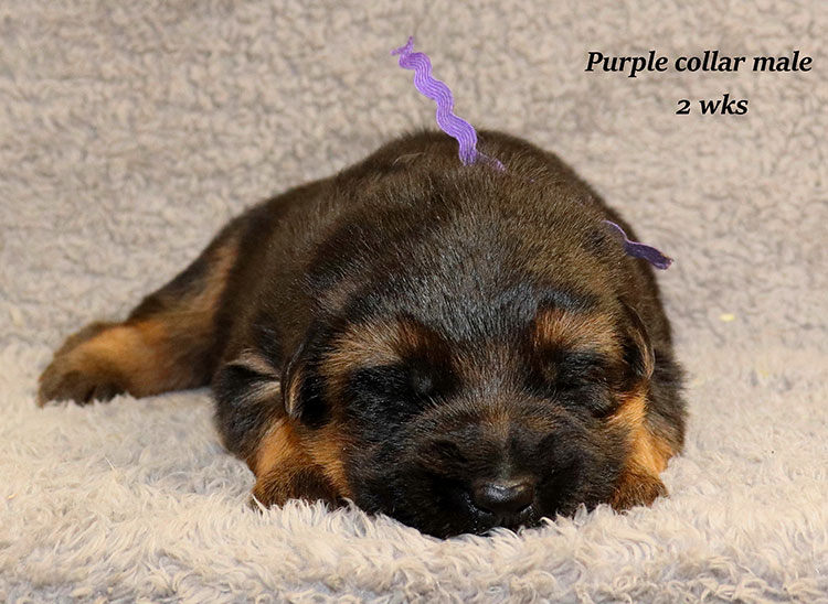 Kondor x Gracie - 2 Weeks Purple Collar Male