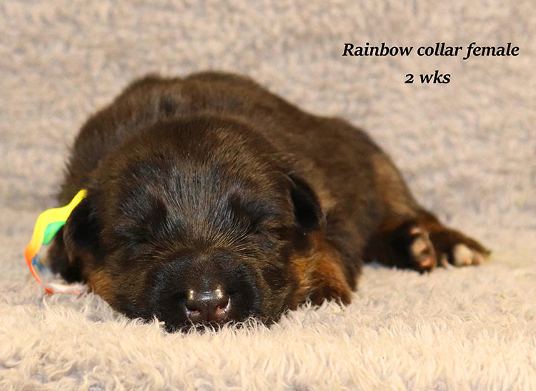 Kondor x Gracie - 2 Weeks Rainbow Collar Female